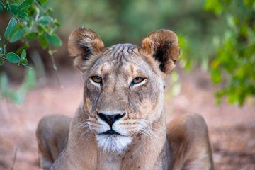kenya, safari animalier, 80 jours voyages