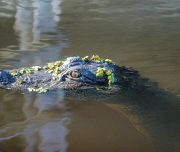 Alligator Bayou - Usa 80 Jours Voyages