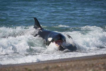 patagonie, orque, 80 jours voyages